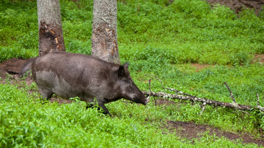 How Do You Hunt Hogs With A Bow