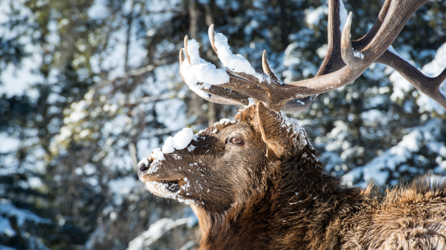 Can You Hunt Elk With A 308?